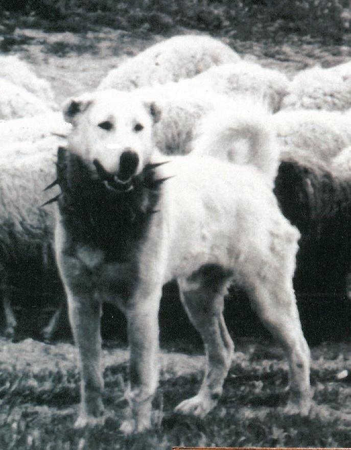 Three Ancient Italian Dog Breeds By Alberto Bertelli Dicasamarziali