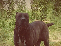 cane corso rustic type