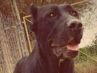 black cane corso female