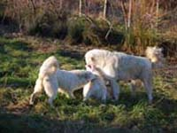group of abruzzese shepherd dog