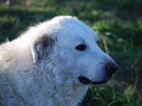 the head of abruzzese shepherd dog