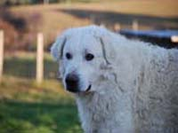 abruzzese shepherd dog male