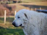 abruzzese shepherd dog
