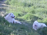 couple of abruzzese shepherd dogs
