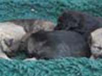 black cane toccatore  puppies