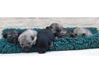 cane toccatore puppies