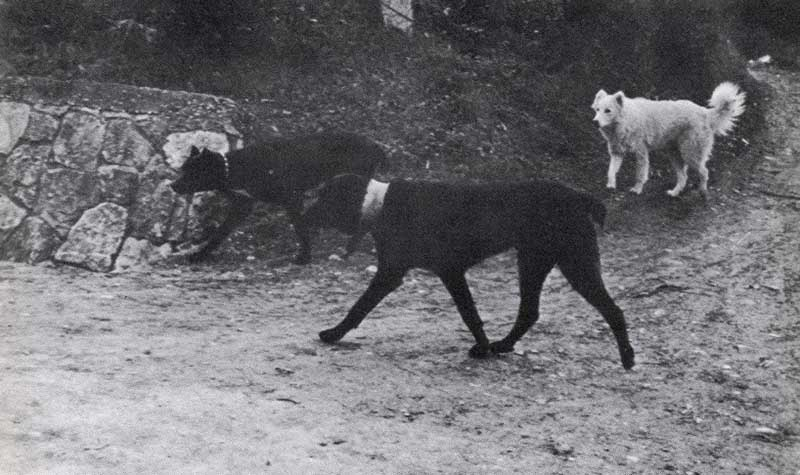 Storia Del Cane Corso Dicasamarziali